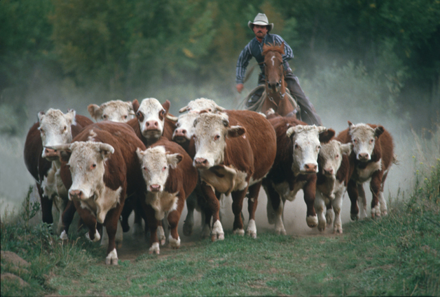 cattle herding.jpg