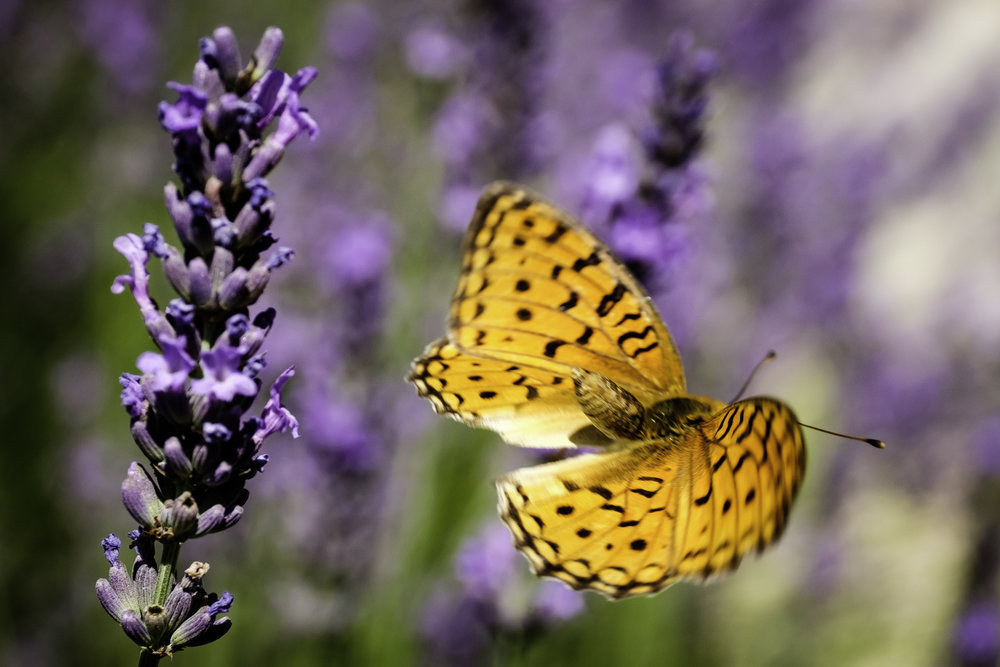 Lavendar, High Brown Fritillary