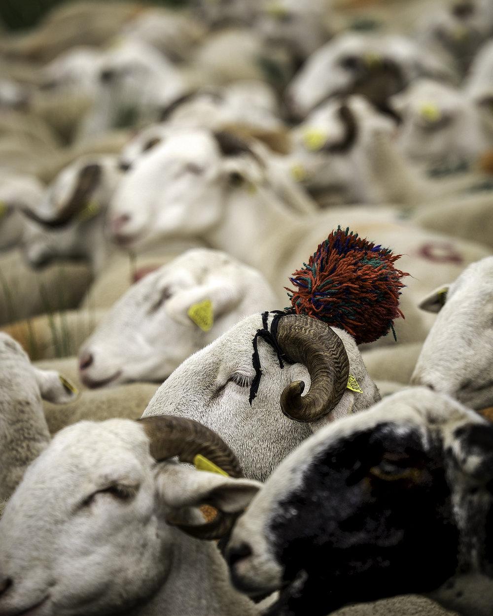 Mouton avec PomPom, Transhumance, Cevennes
