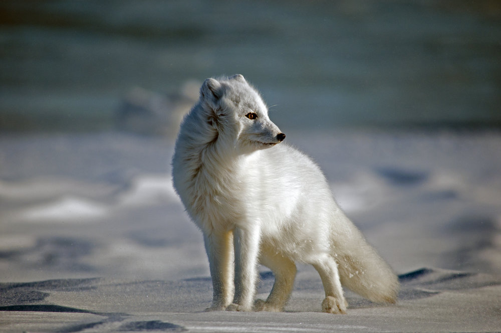 Arctic Fox_JASON_HILLIER_091112_3747.jpg