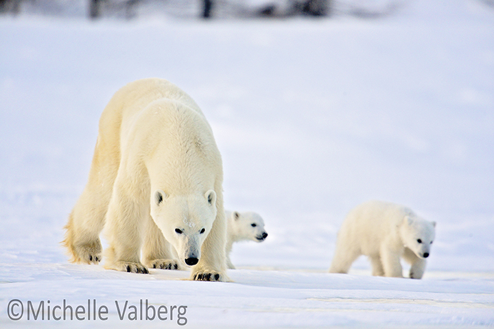 Mother and Cubs 4314w by Michelle Valberg.jpg