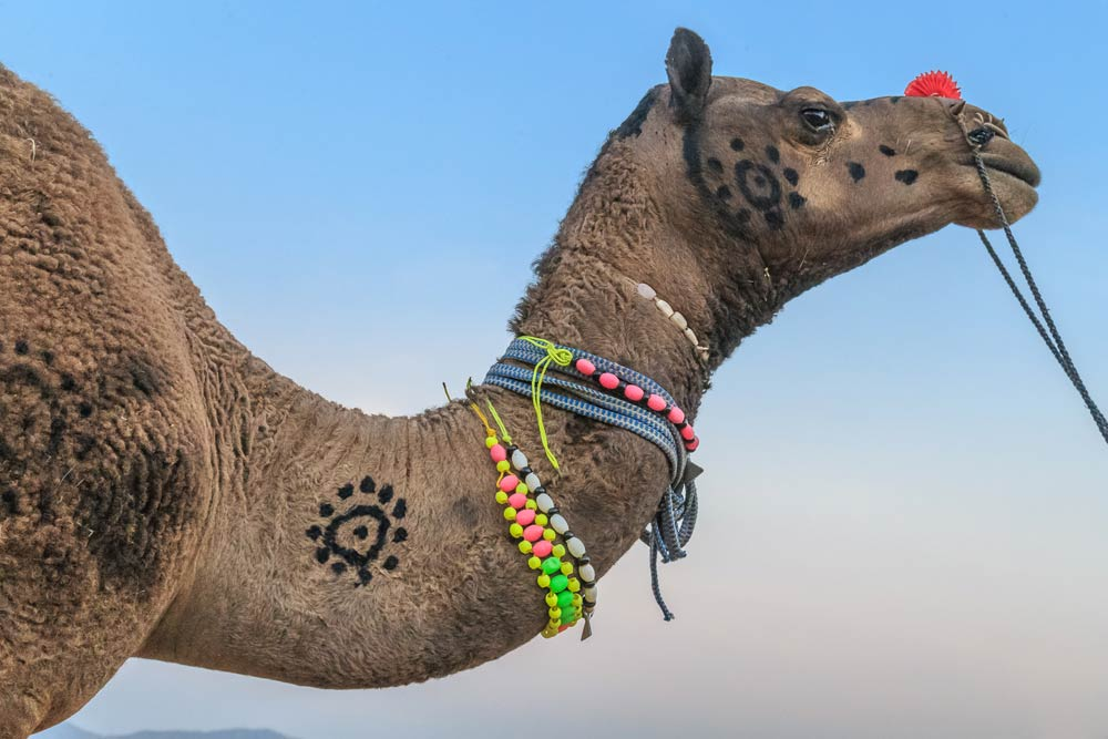 India-rajasthan-decorated-camel-pushkar-camel-fair-copyright-lewis-kemper.jpg
