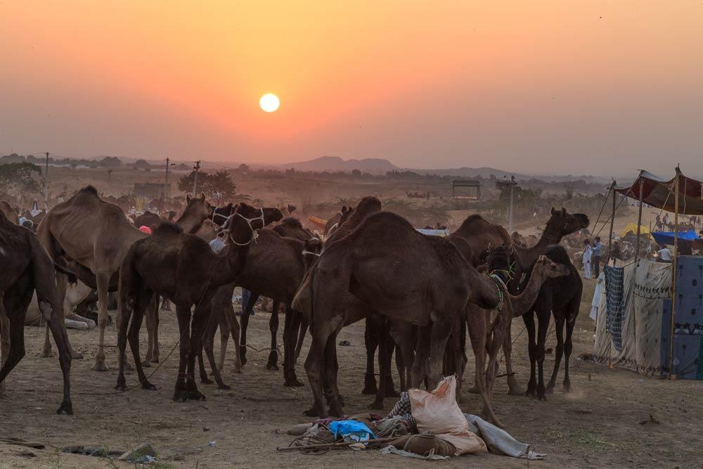 India-rajasthan-sunset-03-pushkar-camel-fair-copyright-lewis-kemper.jpg