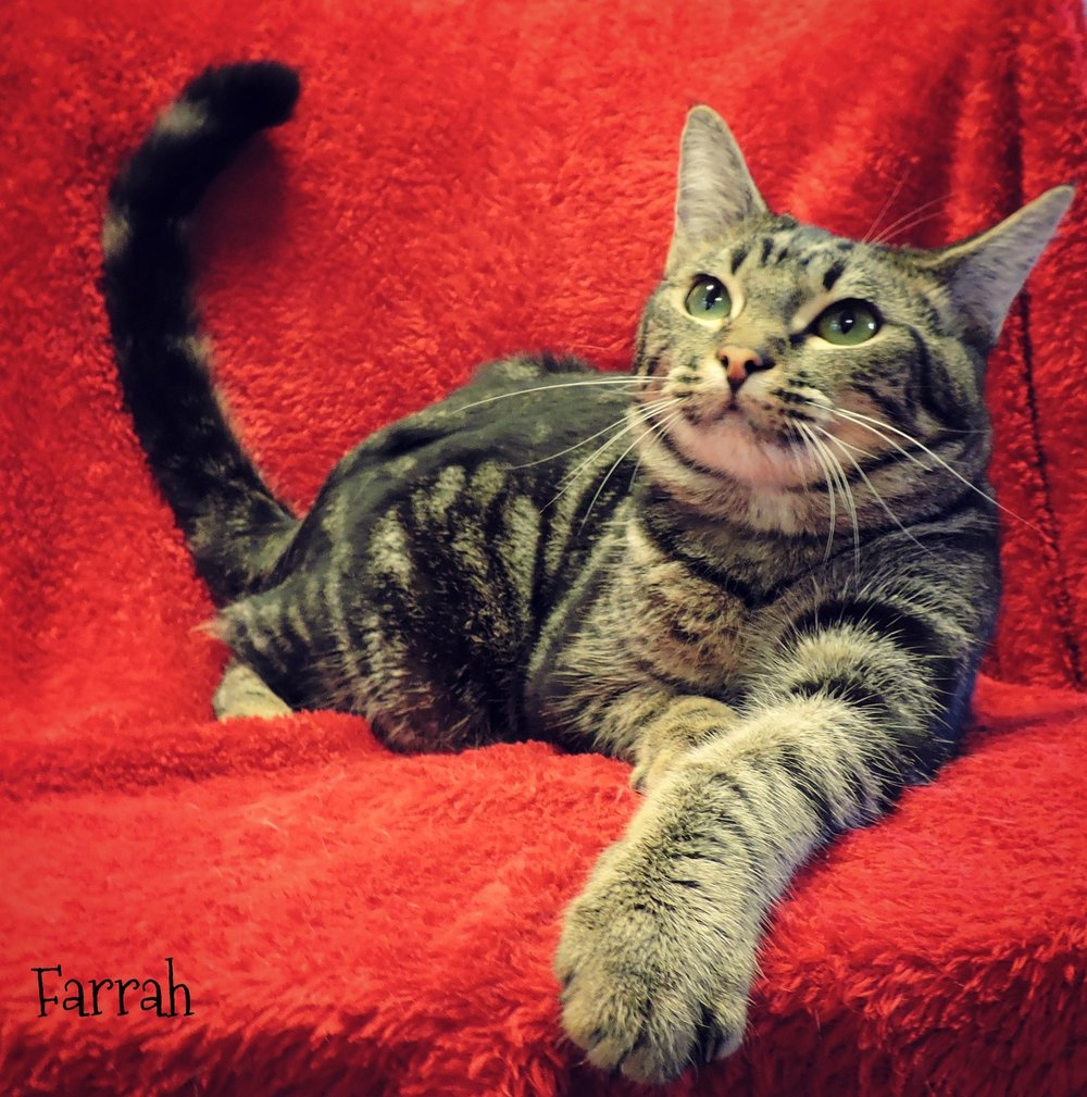 Farrah - Stunning classic tabby youngster, who's somewhat shy but she can be quite playful and gets along with the other cats. -