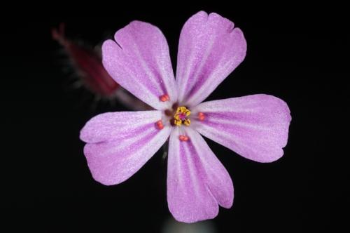 flower-pink-flower-flowers-nature-67299.jpeg