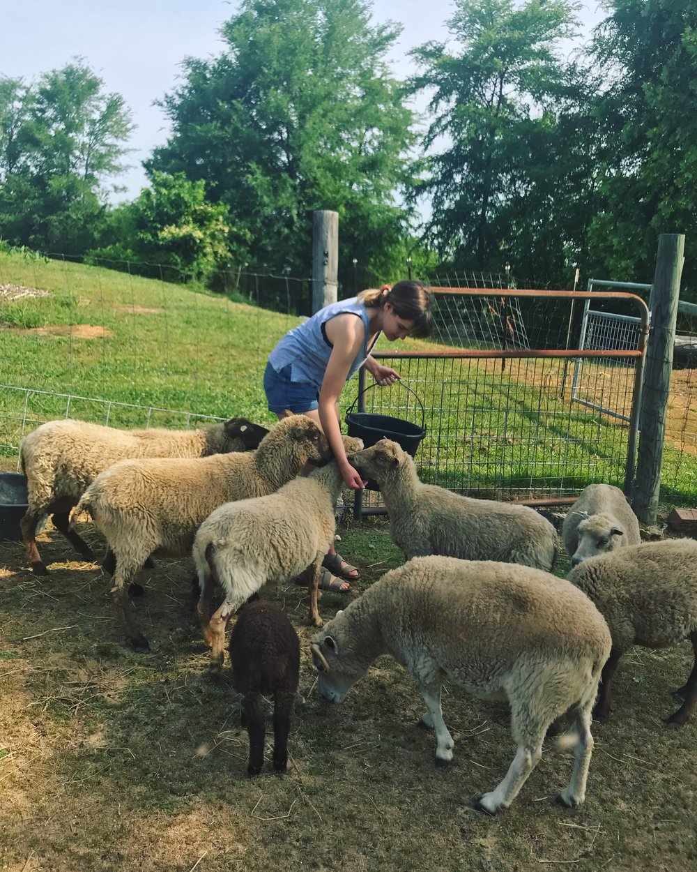 Emily got a chance to see the very sheep that were sheared in May for our stuffing!