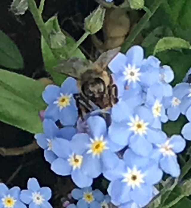 Honeybee upon forget me not flowers on World Bee Day 20 May