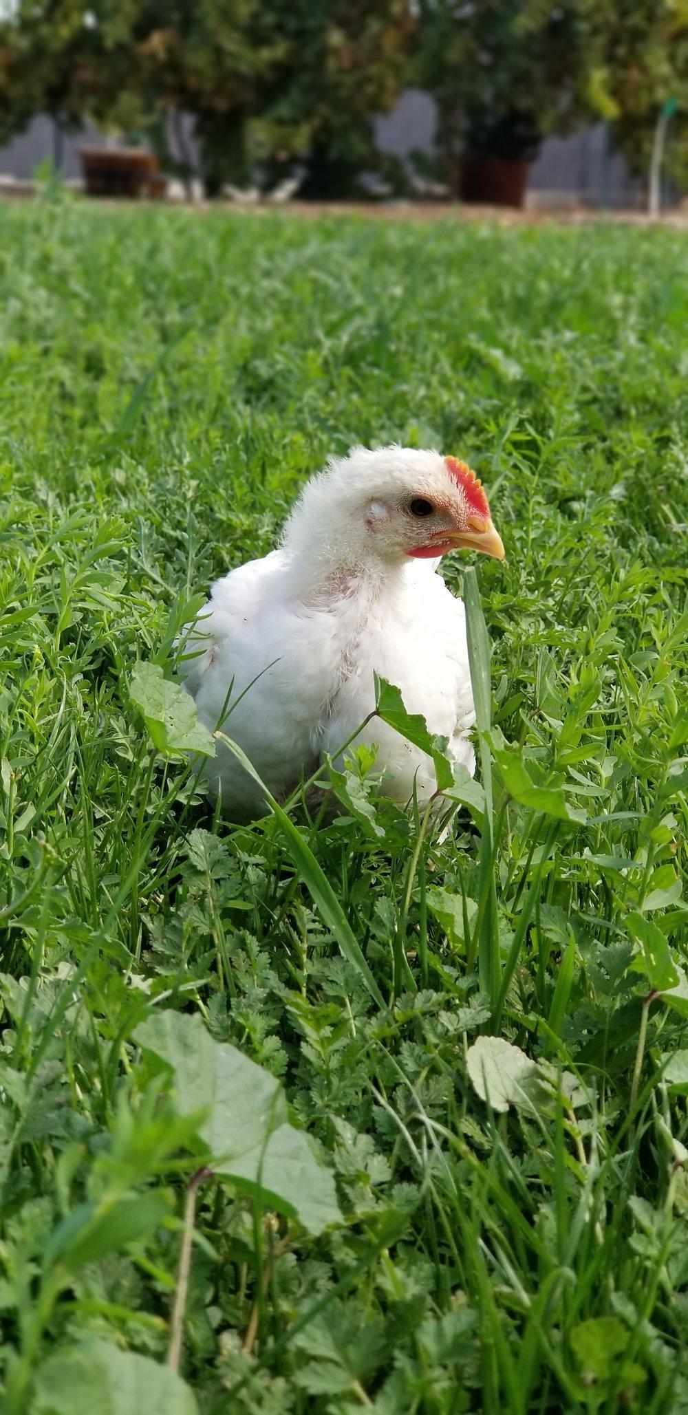 Pasture Raised Chicken -