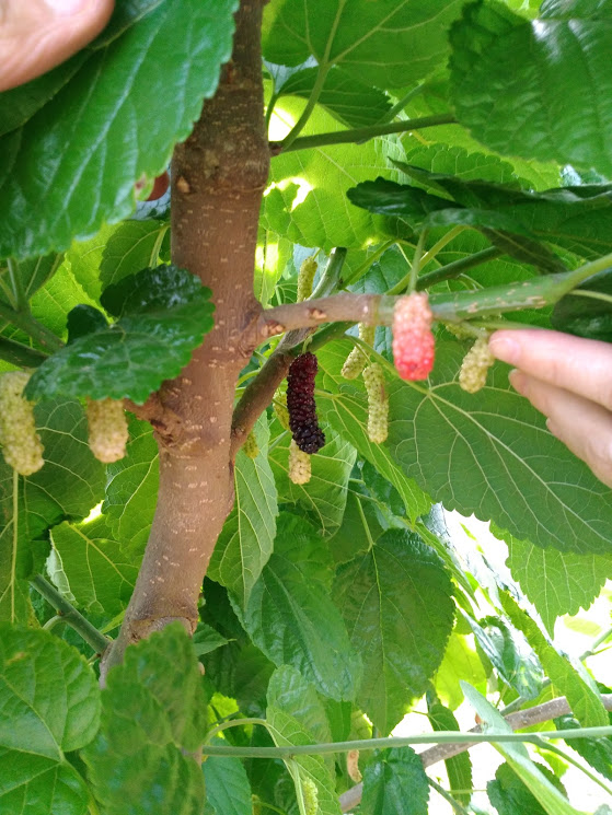 Mulberries.jpg