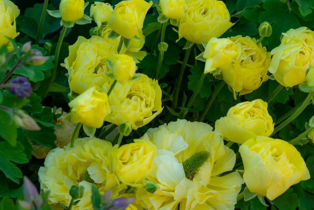 Yellow roses are clusters of colour in the upper garden beds framing and deepening the effect of the Pembroke garden room.