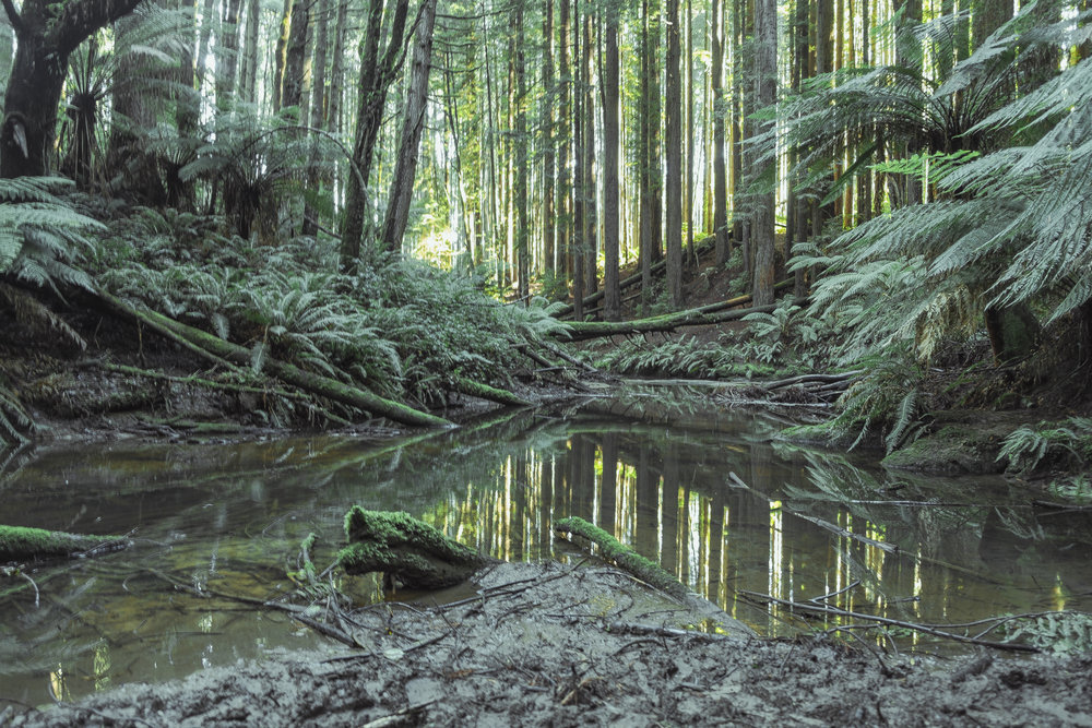 A small pond in the Redwoods