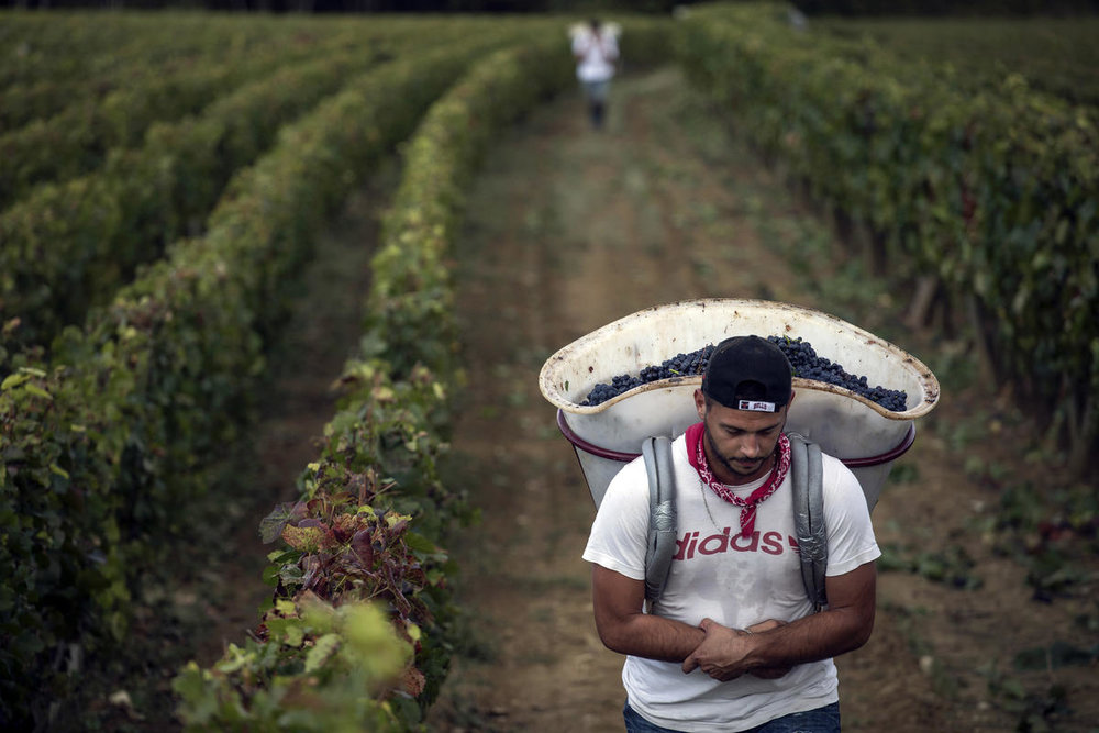 FILE - In this Sept. 12, 2017 file photo, a worker carries red grapes in a burgundy vineyard during the grape harvest season, in Volnay, central France. (AP Photo/Laurent Cipriani, File)