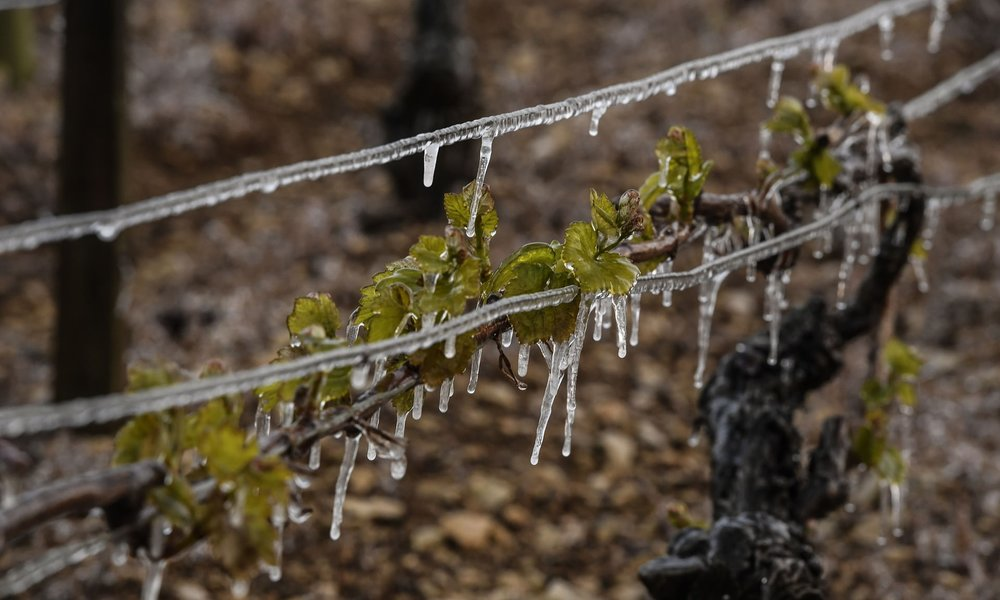 Vines hit by frost in Chablis, northern France, in April. Photograph: Philippe Desmazes/AFP/Getty