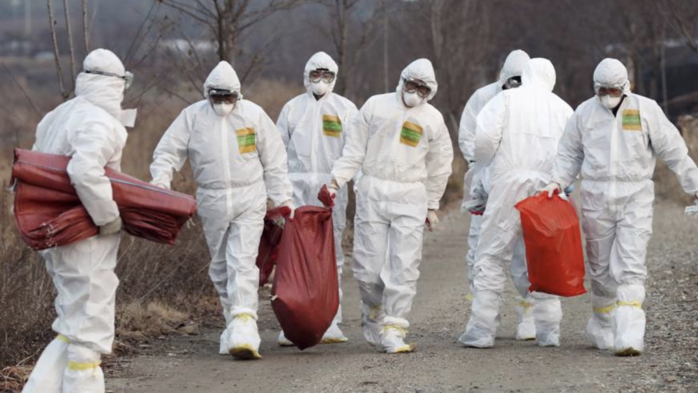 This Dec. 26, 2016 photo shows Korean health officials in Incheon, South Korea, carrying killed chickens at a chicken farm where suspected bird flu was reported. (Source: Yonhap/AP)