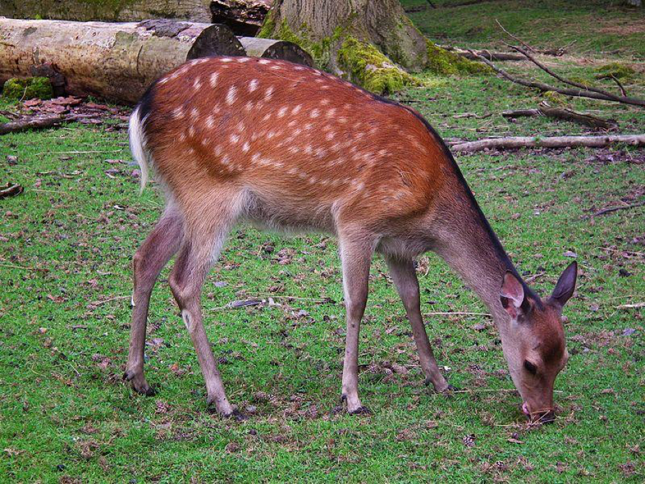 """Japanese Sika Deer (Photo:4028mdk09 (via Wikimedia-Commons)/bei Nutzung bitte zusätzlich angeben """"aufgenommen im Wildpark  Alte Fasanerie Klein-Auheim"""")"""