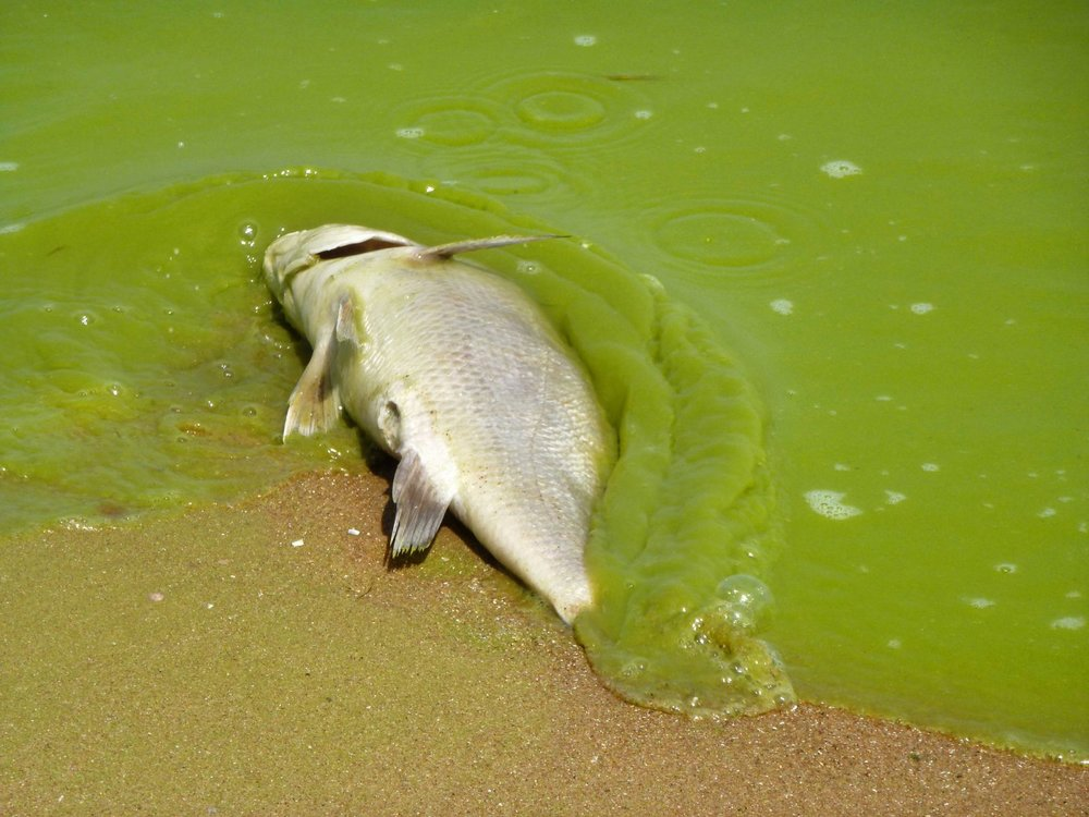 Algal blooms caused by eutrophication in Lake Eerie (Michigan Sea Grant)