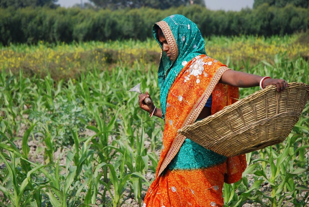 A worker in a maize field close to the Pusa site of the Borlaug Institute for South Asia (BISA), in the Indian state of Bihar. (Source:  Flickr )