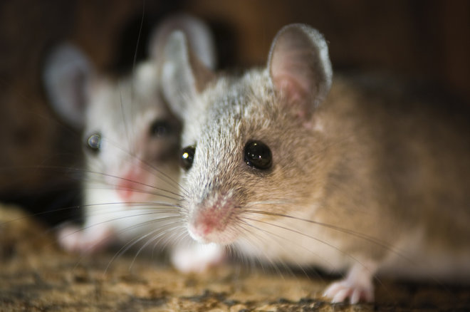 Photo:  Live Science  | Shutterstock  The scientists in the study did not provide a photo of the mice in the study