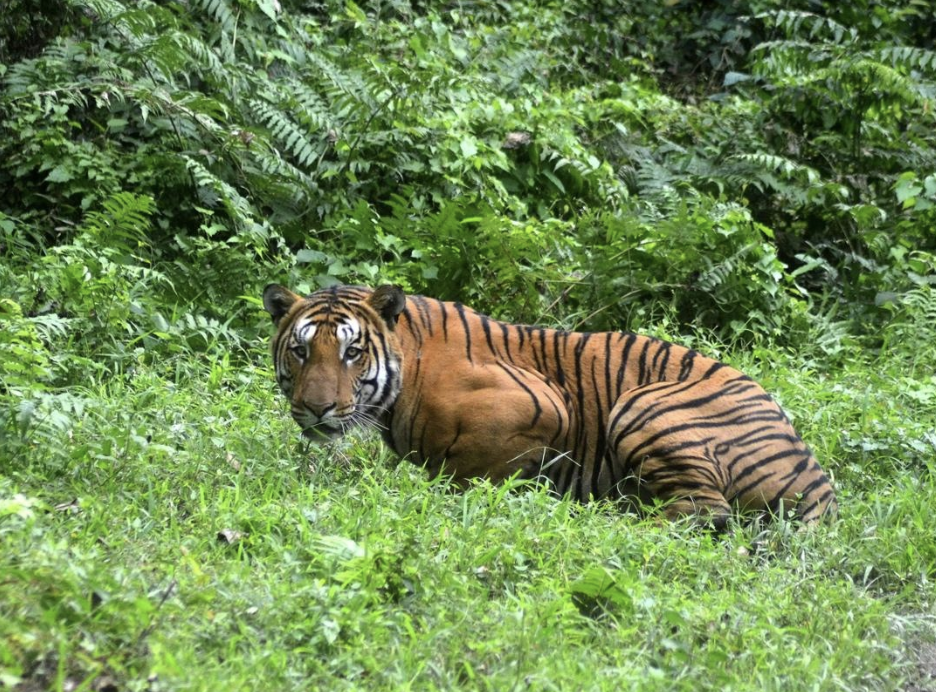 A Royal Bengal Tiger pauses as it walks through a jungle clearing in Kaziranga National Park in India on Dec. 21, 2014. Photo:    Stringer / AF