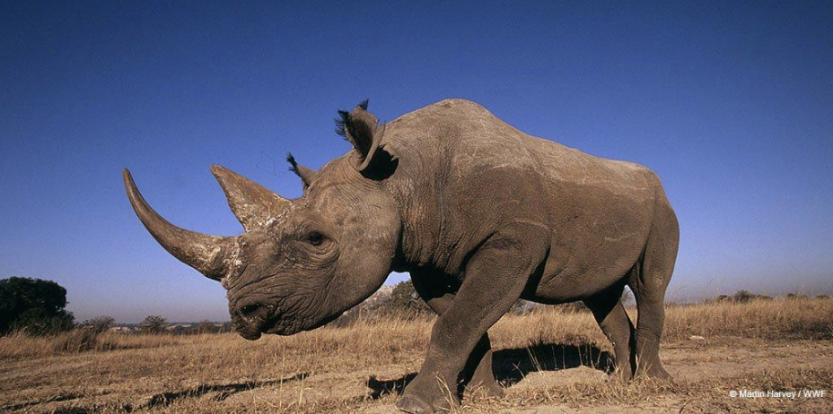 New York Times reported there are just under 30,000 rhinos left in the wild in China. Photo:    @WWFNewZeland