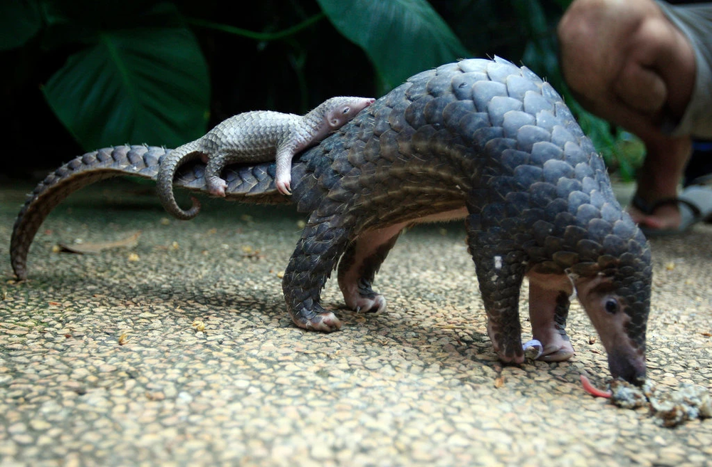A pangolin parent-child pair at a zoo in Bali, Indonesia. Pangolins are one of the most trafficked mammals in the world owing to the value of their scales and meat. Photo:  Firdia Lisnawati/AP
