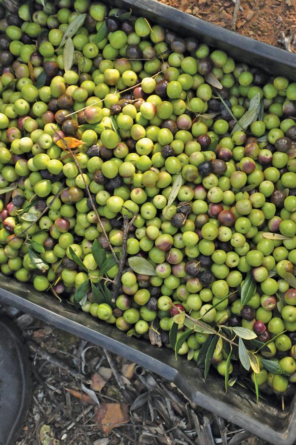 Mardouw Extra Virgin Olive Oil - 02