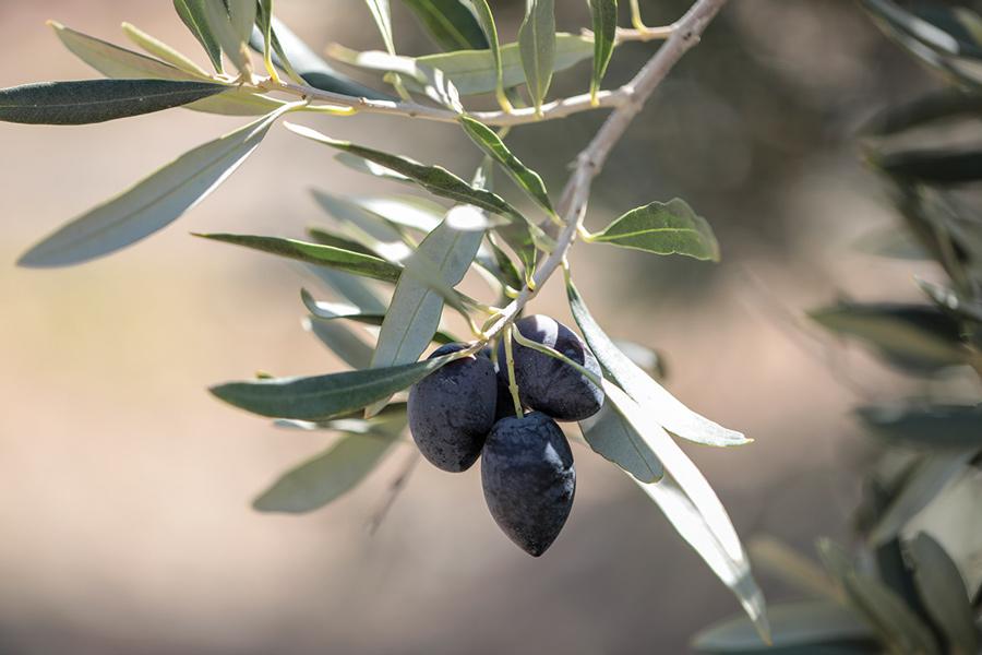Mount Ceder Olives - 01