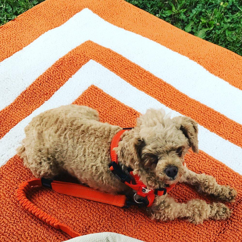 Orange rugpoodle.jpg