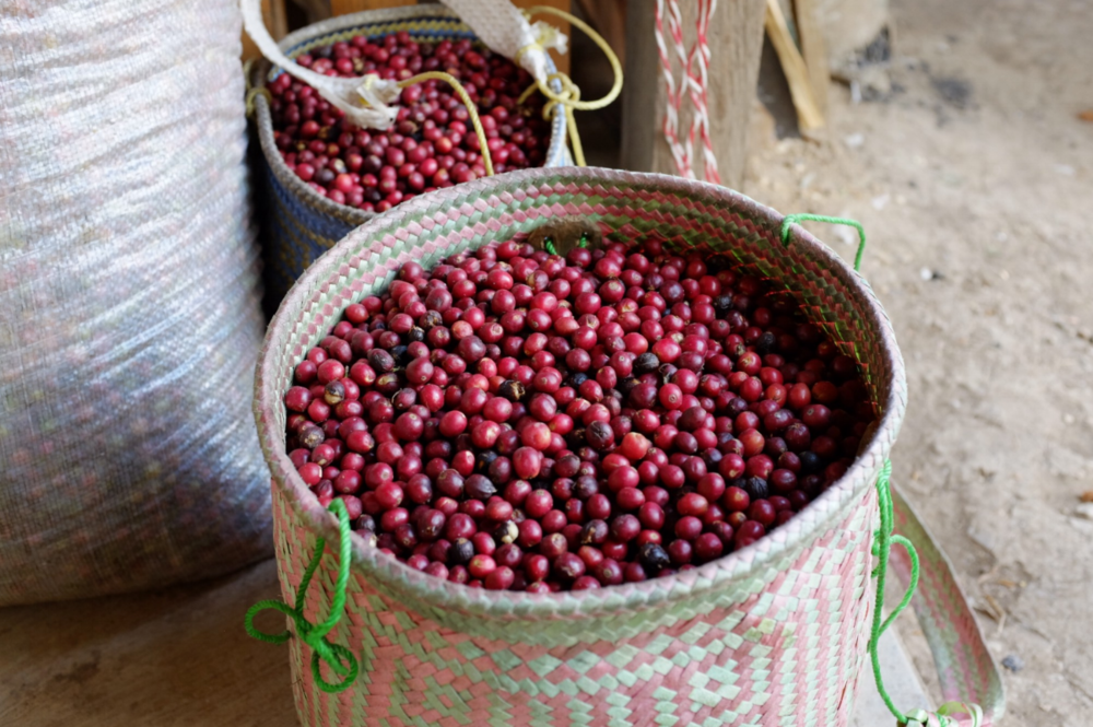 Perfectly ripe, handpicked coffee cherries — Cooperative Sierra Mixteca, Oaxaca, Mexico 2018
