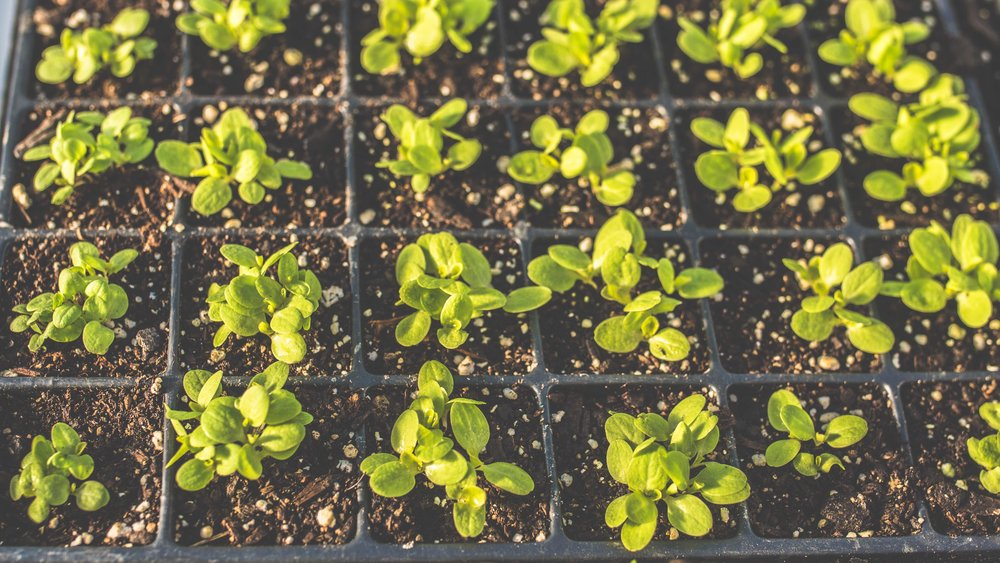 Arethusa Gardens Sprouting Lettuce