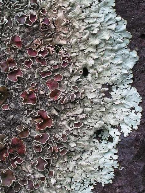 Lichen.png