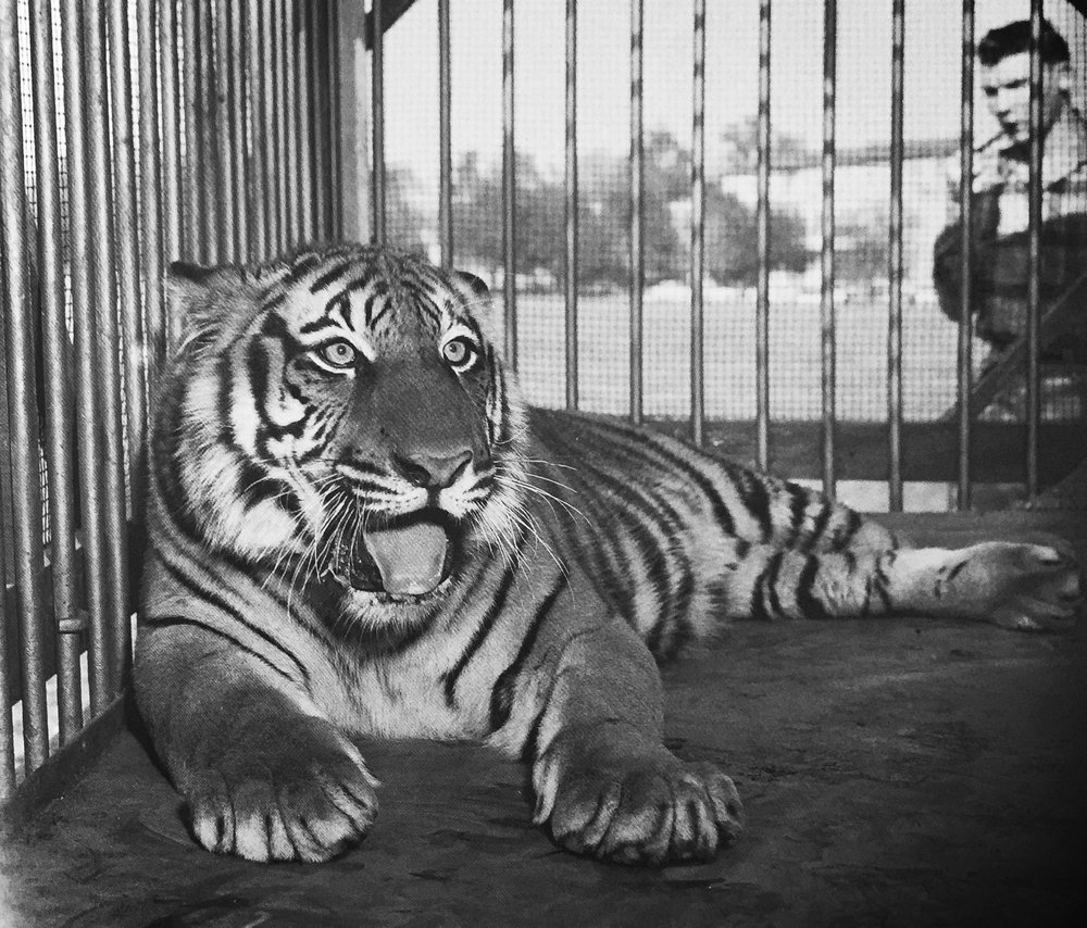 What did the tiger and the tiger dream about I wore a tiger cub in my arms, I played with it