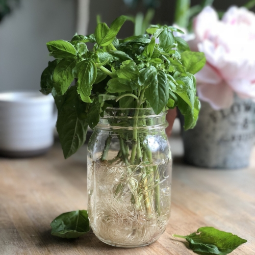 Basil in water.jpg