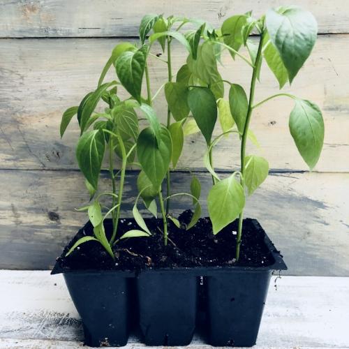 starter plants.jpg