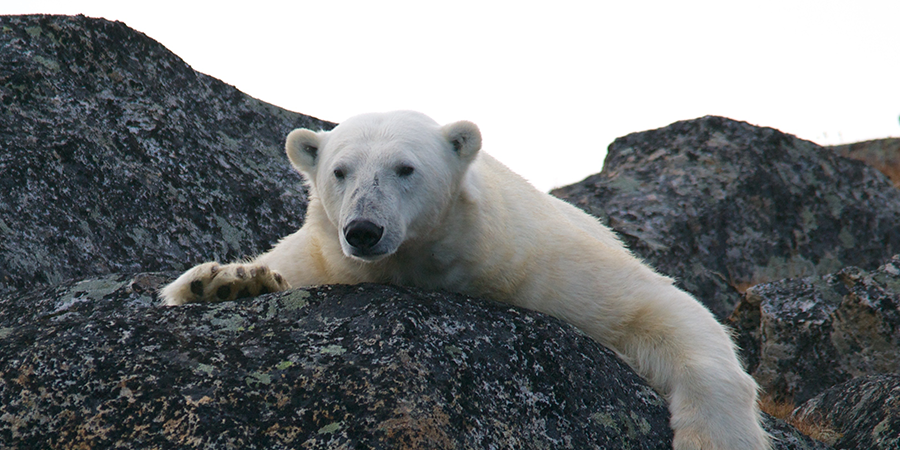 The-Arctic-Expedition-Polar-Bear-crawl.png