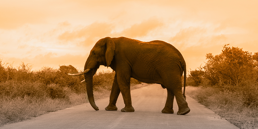 Kruger-South-Africa-Elephant.png