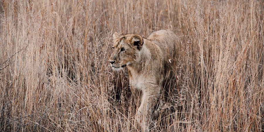 Kruger-South-Africa-Lion.png
