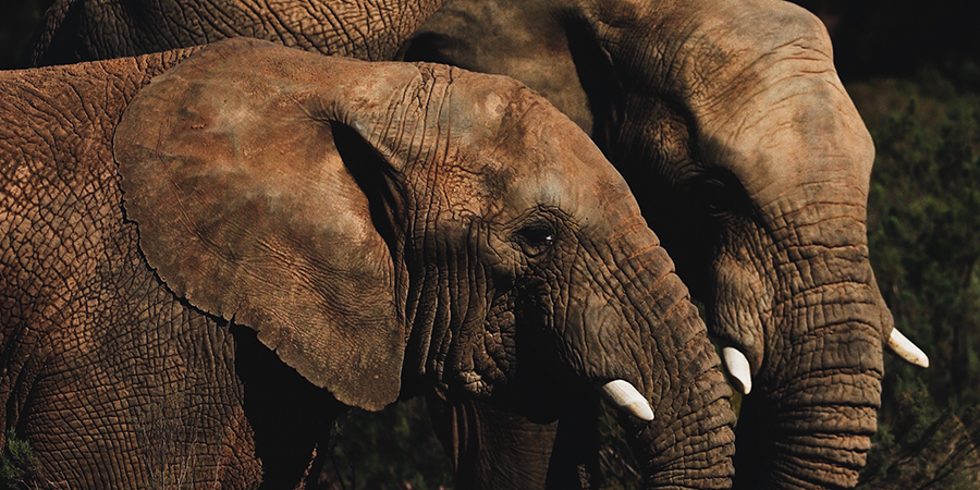 Kruger-South-Africa-Elephant-2.png