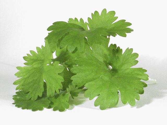 - cilantro