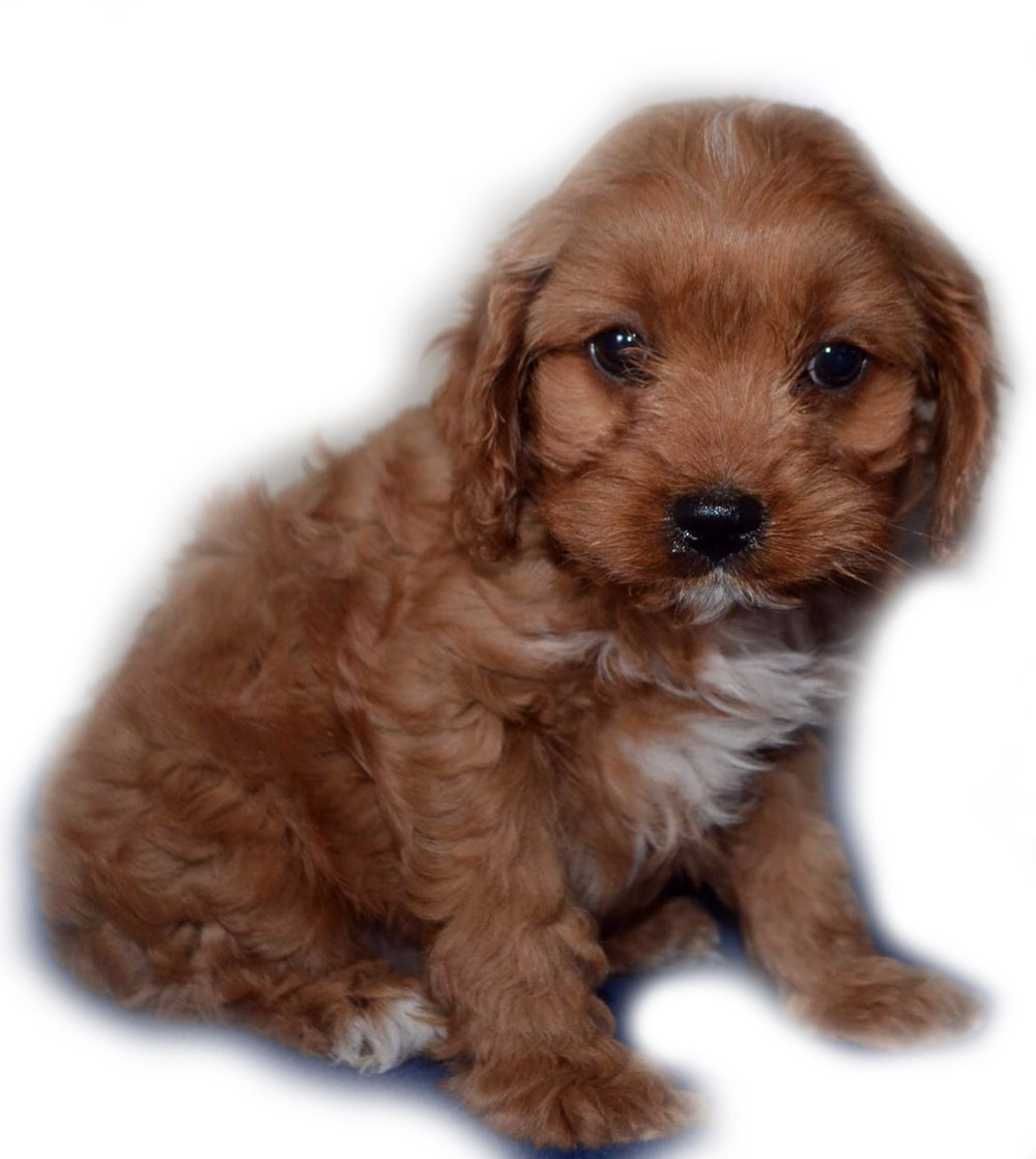Red/White Cavapoo