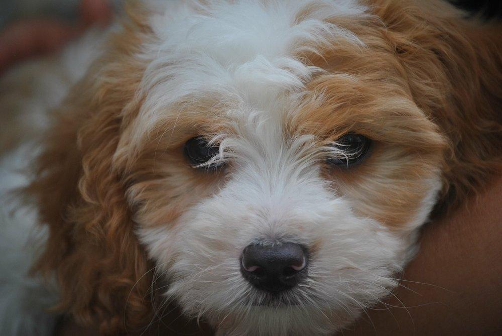 blenheim-cavapoo-puppy.JPG