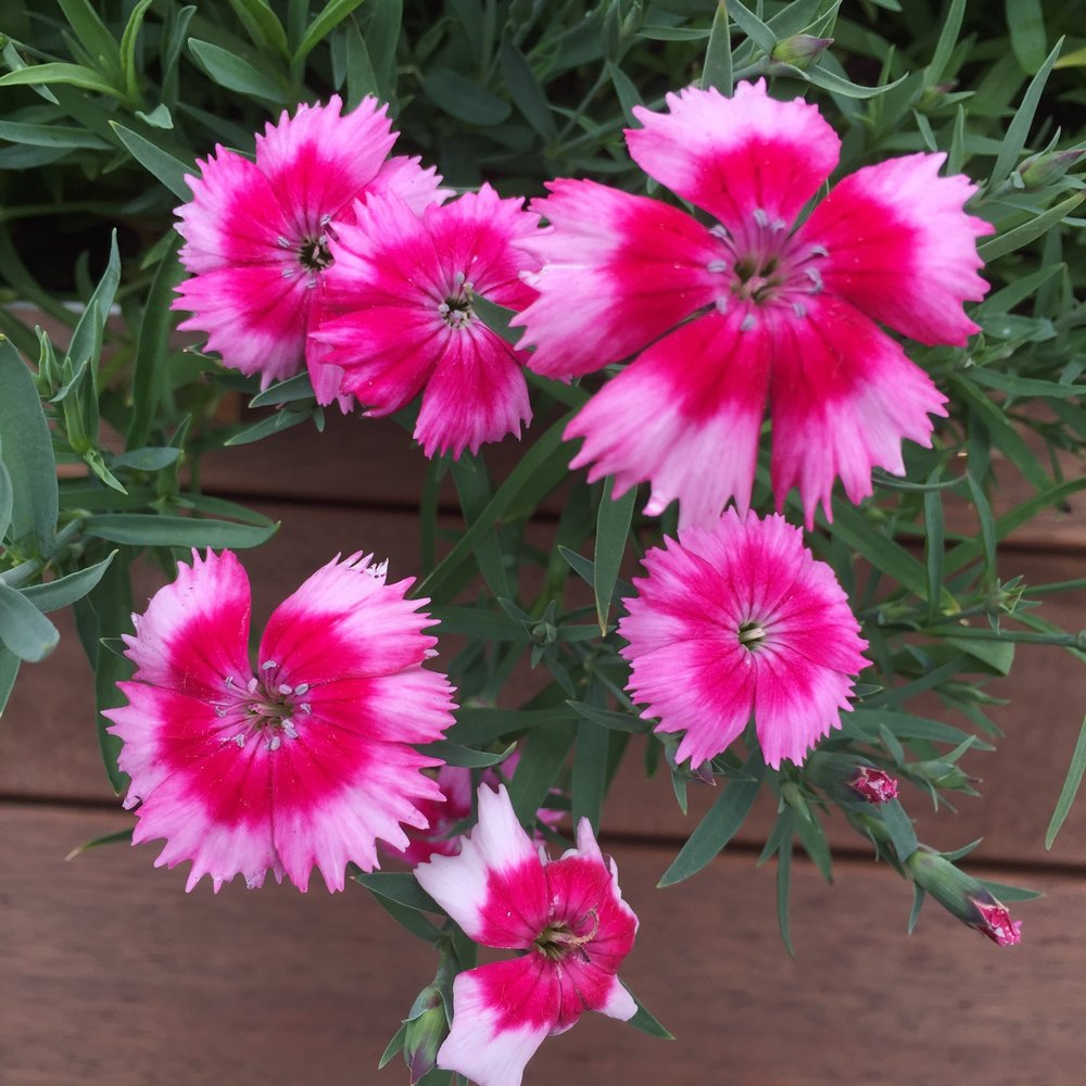 All the Dianthus