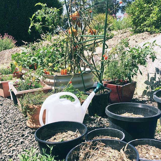 New blog post! We've been learning about allotment gardens in the UK and wondering if it could work in Australia? With more people renting shorter term leases and landlords having the right to refuse you permission to put in a garden (or evict you if you put it in without permission) perhaps allotments could offer a chance for stability and long term veggie gardens. Link in profile. . . . #allotment #allotmentlove #growyourownveggies #permaculture #growyourfood #growyourownfood #homegrownherbs #makingslow #slowliving #gardening #gardeningautralia #renting #rentlife #communitygarden #veggies #wateringcan