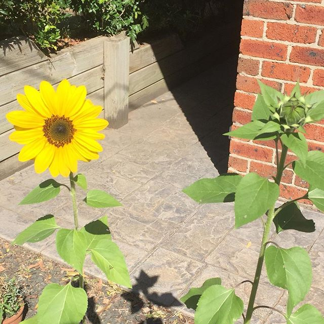 Our mystery plants turned out to be sunflowers! 🌻 The names had washed off their paper pots so we had no idea what we had planted in them 😝 . . . #sunflower #sunflowers #cutflowers #flowergarden #surprise #gardening #gardeningaustralia #permaculture #beginnergardener