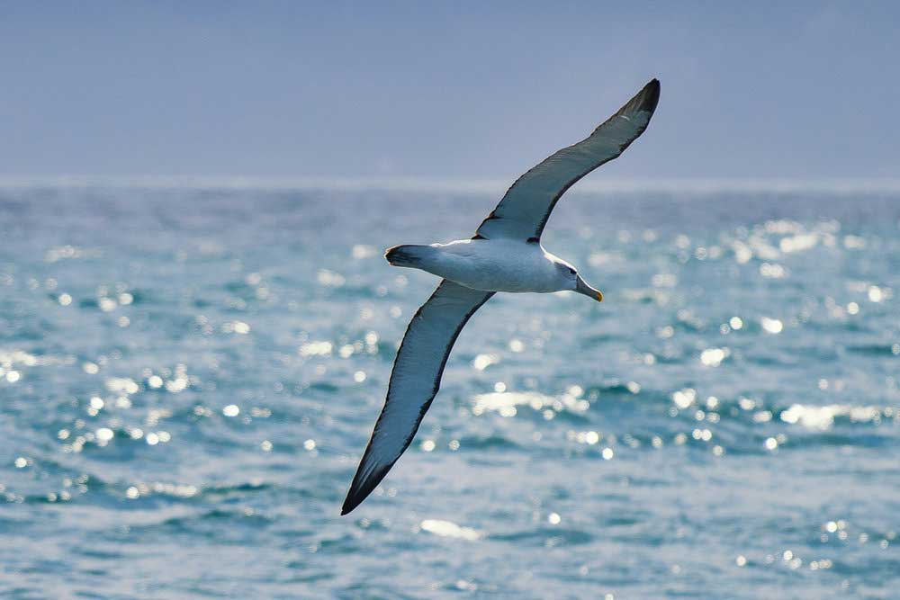 Albatross Encounter!
