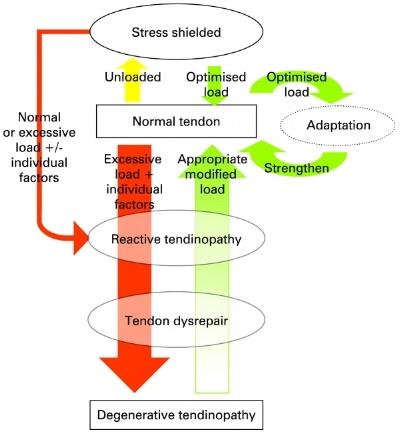 Modell för tendinopati från forskarna Cook och Purdam