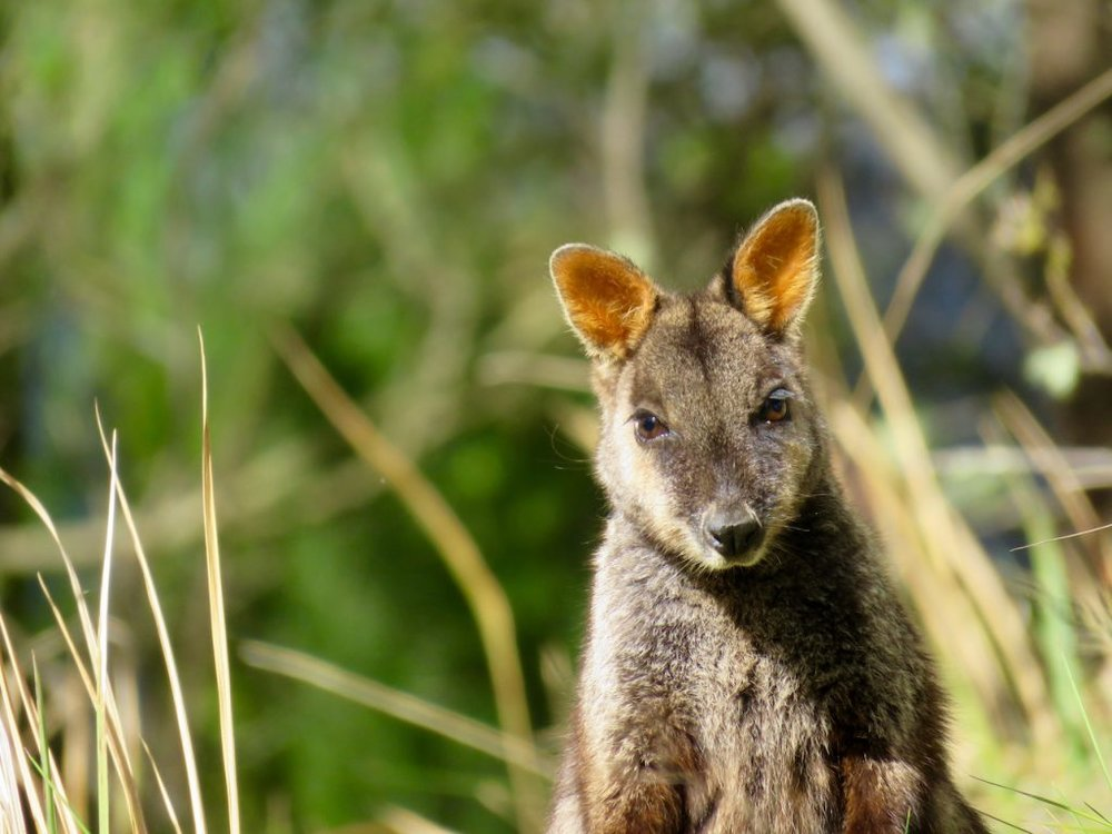 Just your friendly neighbourhood wallaby!