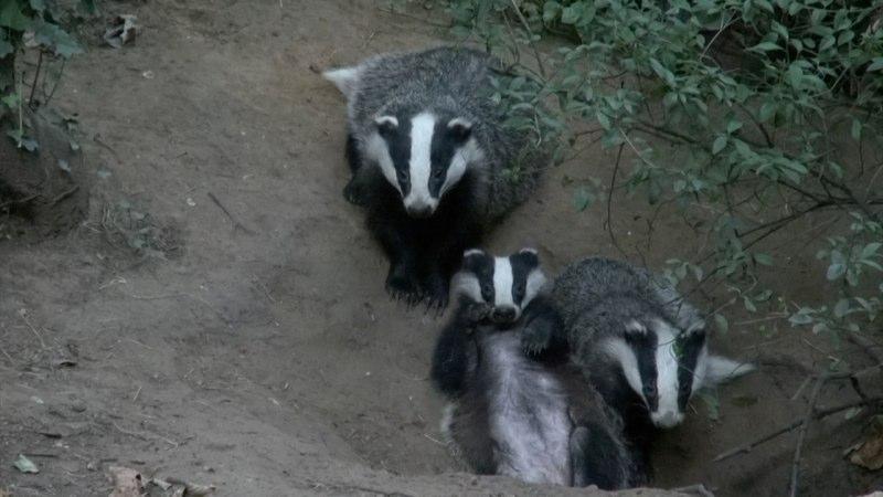 Badger 3.jpg