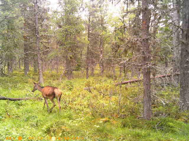 Foto: Viltkamera Vidar Trøen ID:679