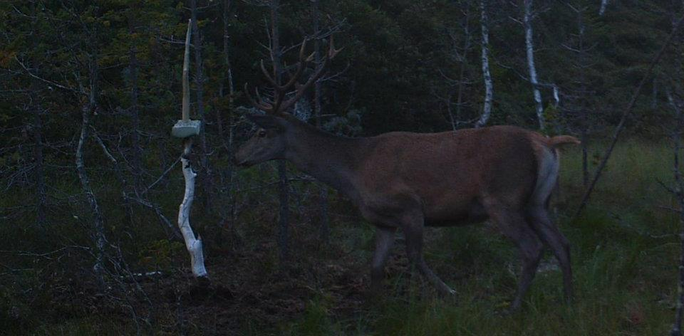 Foto: Gaute Lundeberg Aas/Viltkamera.